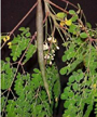 Moringa_oleifera-modern-herbal